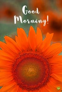 Sunflower Good Morning Images Photo Wallpaper Pics Download