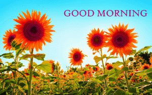 Sunflower Good Morning Images Photo Wallpaper Pics HD Download