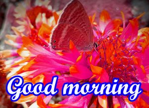 Butterfly Good Morning Images Wallpaper Pictures Download