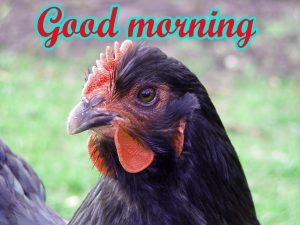 Good Morning Rooster Images Photo Wallpaper