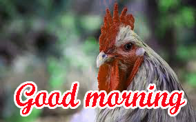 Good Morning Rooster Images Pictures Pics