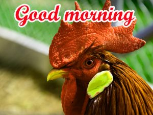 Good Morning Rooster Images Pics HD Free Download