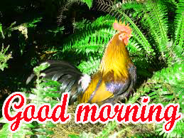 Good Morning Rooster Images Pics HD Download