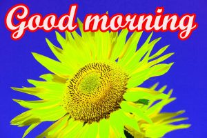 Sunflower Good Morning Images Pics HD