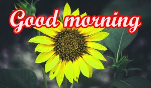 Sunflower Good Morning Images Wallpaper Pictures Download