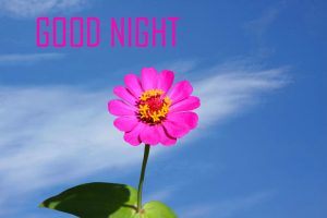 Good Night Images Photo Pics Wallpaper Pictures HD Free With Flower