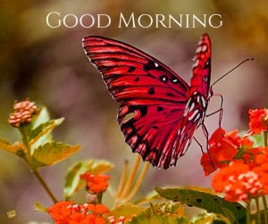 Butterfly Good Morning Images Wallpaper Photo HD Download