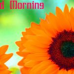 112+ Sunflower Good Morning Images Photo Pictures Pics HD