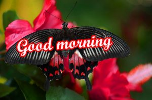 Butterfly Good Morning Images Pictures HD Download