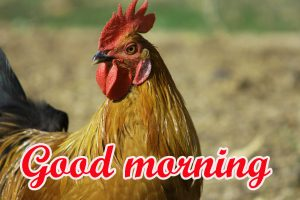 Good Morning Rooster Images
