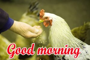 Good Morning Rooster Images Wallpaper