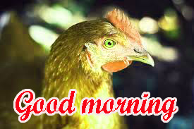 Good Morning Rooster Images Wallpaper Pics HD Download