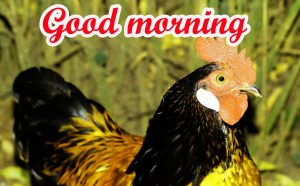 Good Morning Rooster Images HD Download