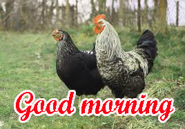 Good Morning Rooster Images Wallpaper Pics Download