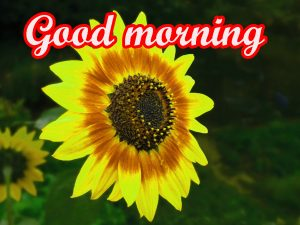 Sunflower Good Morning Images