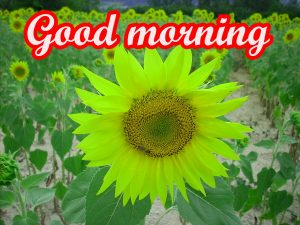 Sunflower Good Morning Images Wallpaper