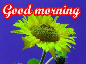 Sunflower Good Morning Images Pictures HD Download