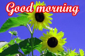 Sunflower Good Morning Images Pics HD Download