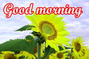 Sunflower Good Morning Images Wallpaper Pics