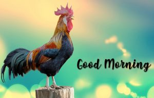 Best Good Morning Rooster Images Wallpaper Pictures Photo Pics Free HD Download For Whatsapp