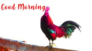 Best Good Morning Rooster Images Pictures Photo Wallpaper HD