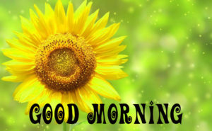 Sunflower Good Morning Images pictures photo hd download