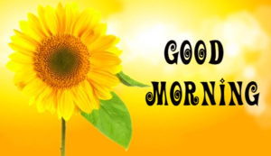 Sunflower Good Morning Images photo download for whatsapp