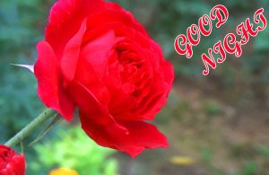 Beautiful Good Night Images Wallpaper Pics With Red Rose