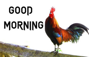 Good Morning Rooster Images pictures photo hd download