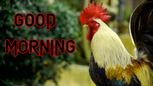 Good Morning Rooster Images photo wallpaper hd
