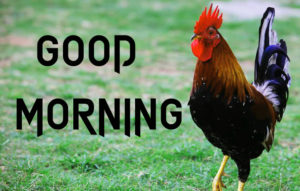 Good Morning Rooster Images wallpaper photo download