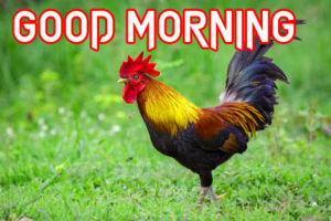 Good Morning Rooster Images pics photo free hd