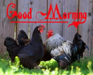 Good Morning Rooster Images 1