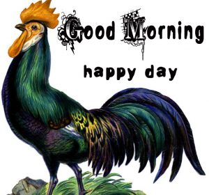 Good Morning Rooster Images 14