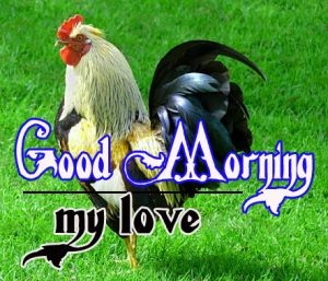 Good Morning Rooster Images 17