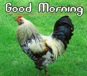Good Morning Rooster Images 7